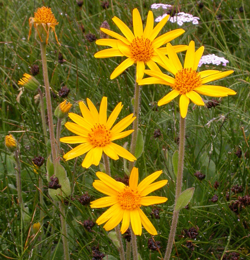 Arnica Oil is prepared from Arnica montana plants which are Certified Organically Grown